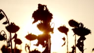 The sun's rays shine through the stalks of ripe sunflower. At sunset, sunflower already ripe and ready for harvest video