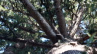 The sun's rays through the branches of conifers. Bottom view video