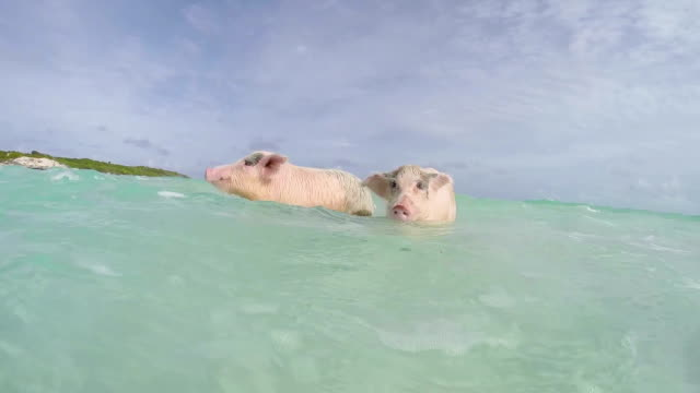The swimming pigs in Major Cay video