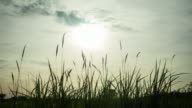 The tall grass in the rays of the sunset. video