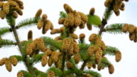 The tall Spruce tree with lots of acorns on it video