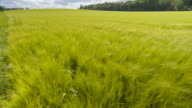 The thick barley green plants on the field video