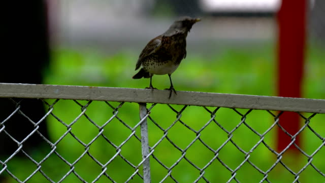 The thrush bird (Turdus) sits on a metal fence in the park. She turns her head and looks around. Summer day in the park. video