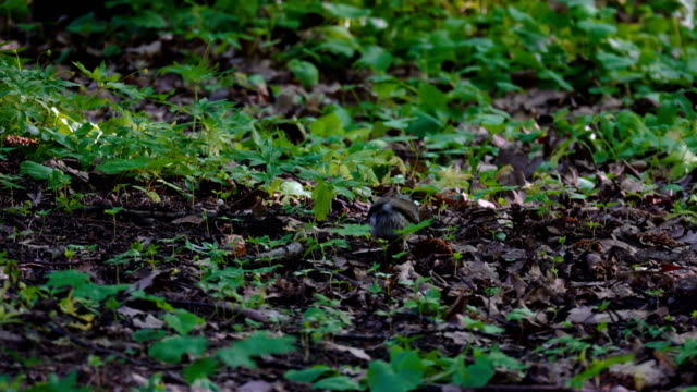The thrush bird (Turdus)  sits on the ground in the park. The bird caught a worm and is going to eat it. Summer day in the park. video