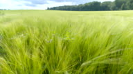 The top of the green barley plants video