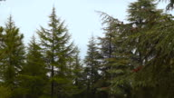 The tops of the spruce trees against the sky video