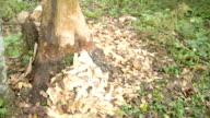 The trunk of the tree is eaten by the beaver video