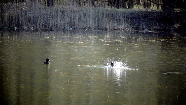 The tufted duck (Aythya fuligula) lap in the lake,Slow motion video