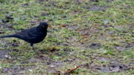The Turdus Merula picking some food on the ground video