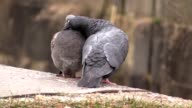 The Two cooing pigeons video