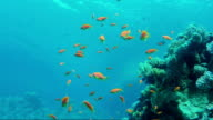 The underwater world of the Red Sea. In the frame a lot of colorful fish and the surface of the sea from a depth video