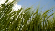 The view of the barley grains on the field video