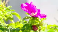 The violet flower bell on the plant hanging video