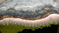 The water moist drop on the side of the red banded polypore video