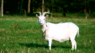 The white goat chewing a  grass video
