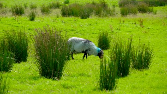 The white sheep eating grasses  Ireland video