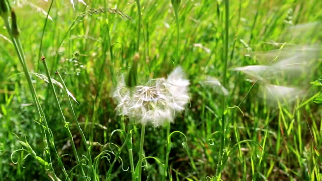 The wind blows dandelion seeds video