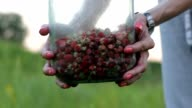 The woman holds to bank with juicy red wild strawberry. Selective focus. video