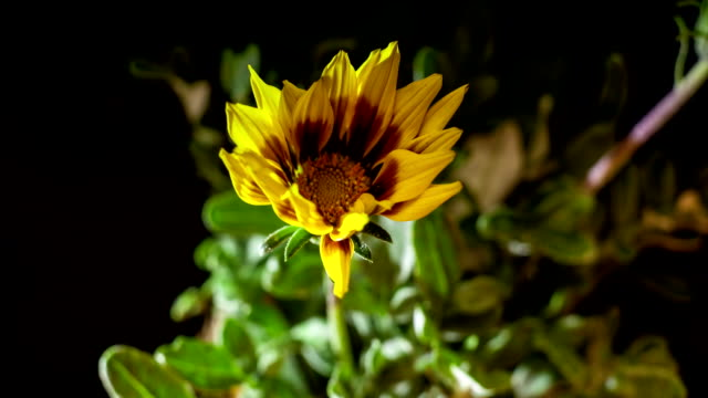 The yellow flower of the gazania dissolves video
