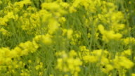 The yellow flowers of the rapeseed plants video