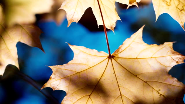 The yellow leaves of the maple are brightly lit by the autumn sun. Against the blue sky - autumn view video