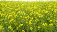 The yellow rapeseed on the field video