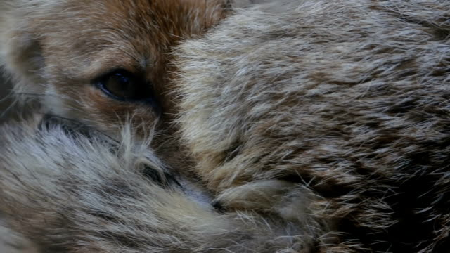 The young fox twisted into a ball and looked with one eye. Close-up video