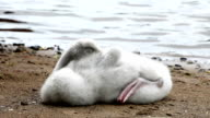 The young swan cleans feathers on the bank of the lake video
