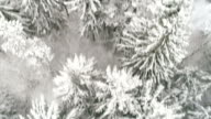 Thick white snow covering the tall spruce trees in the mountain forest video