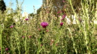 Thickets of Thistle and a view of the dome of the Church video