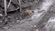 thin  hungry dog looking for food  04 video