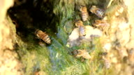 Thirsty swarm of bees video
