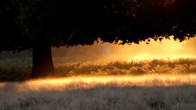 Oak tree silhouette in mist fiery orange dawn HD video video