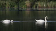 HD video two white swans feeding in dark waters video