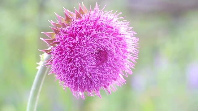 Thistle Flower in Bloom in the field,flower swings from the whiff of the wind, thistle moving in the breeze at sunset, insect crawls over the thistle flower, backlight. video
