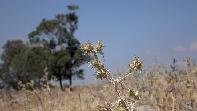 Thistles Growing Where Roman Road Once Was video