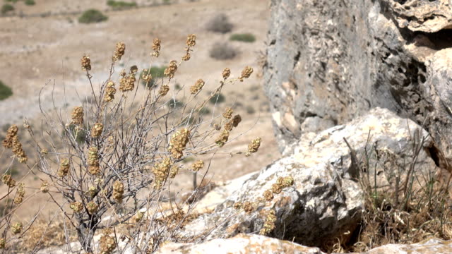 Thistles Shaking in Wind on Cliffside in Israel video
