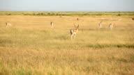 Thomson Gazelle video