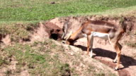 Thomson's Gazelle 'Eudorcas thomsonii' eating grass in the hole video