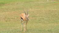Thomson's Gazelle video