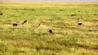 Thomson's gazelles in Amboseli Park, Kenya video