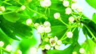 Thornapple flower video