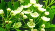 Thornapple floweron black background video