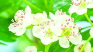 Thornapple floweron blue background video