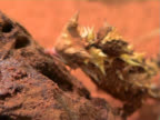 Thorny Devil Lizard in Australia video
