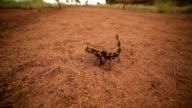 Thorny devil, Northern Territory, Australia video