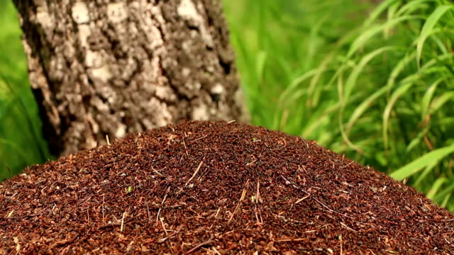Thousands of ants scurry on top of anthill in forest video