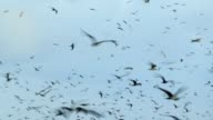 Thousands of birds flying. Clear blue sky with hundreds of thousands of wild birds flying video
