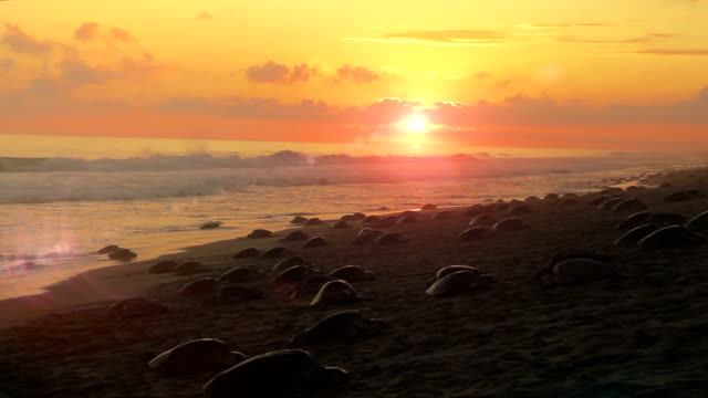 Thousands of sea turtles nesting video