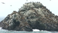 Thousands of Seals, Sea Lions, and Birds at Seal Rock video